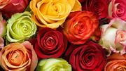 Оптовая продажа цветов из Голландии.(Срезка,  горшечные цветы)