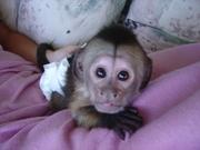 фантастические мартышка и обезьян-капуцинов для принятия.