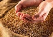 Продам пшеницу,  зерноотходы,  ячмень,  овёс.